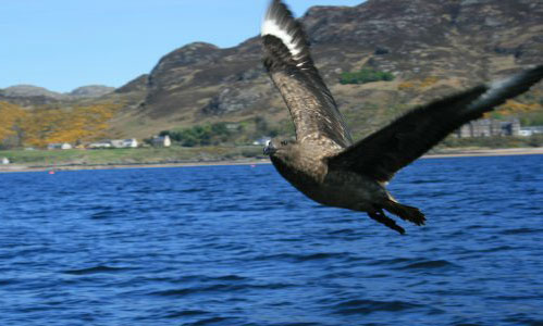 A skua seen from a local boat trip