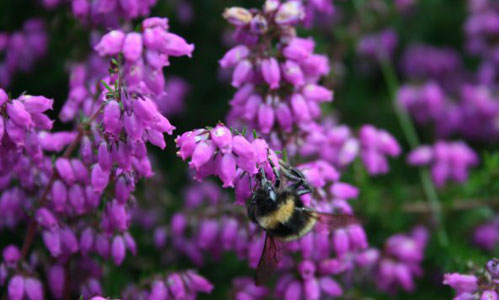 A bumble bee on the heather